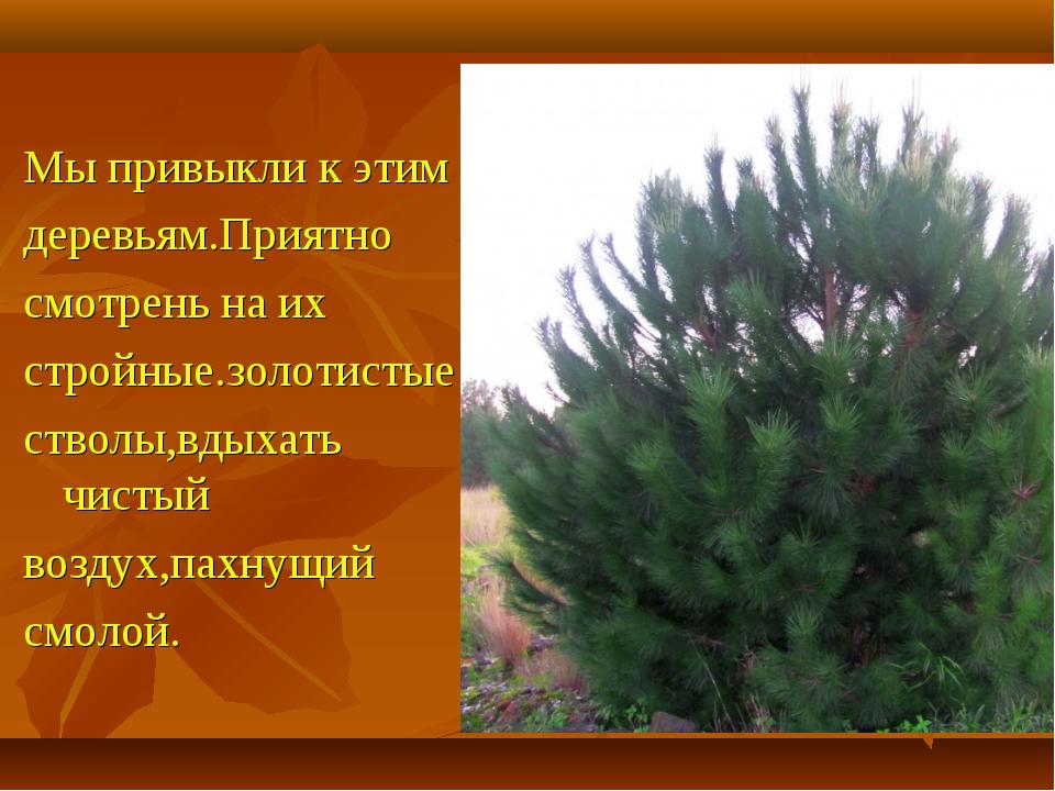 Мы привыкли к этим деревьям.Приятно смотрень на их стройные.золотистые стволы...
