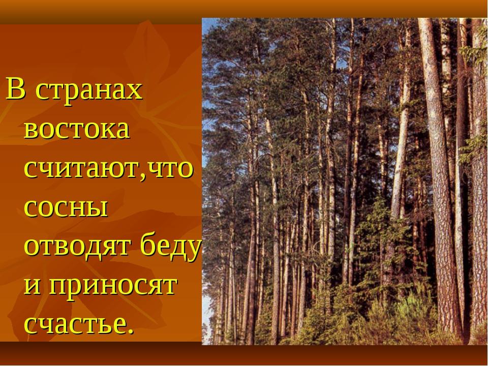 В странах востока считают,что сосны отводят беду и приносят счастье.