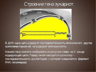 Строение гена эукариот. В ДНК одна цепь кодирует последовательность аминокисл