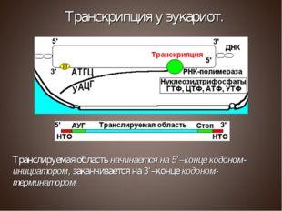Транслируемая область начинается на 5'–конце кодоном-инициатором, заканчивает