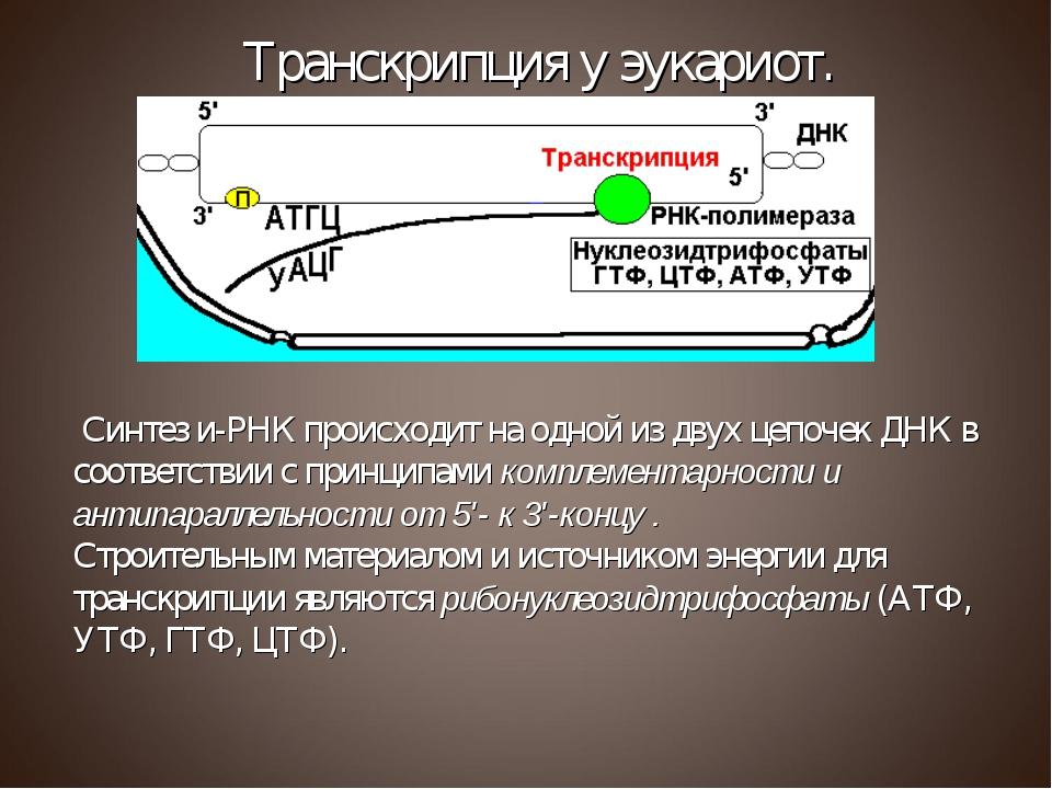 Синтез и-РНК происходит на одной из двух цепочек ДНК в соответствии с принци...