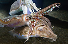 http://upload.wikimedia.org/wikipedia/commons/thumb/c/cb/Georgia_Aquarium_-_Cuttlefish_Jan_2006.jpg/220px-Georgia_Aquarium_-_Cuttlefish_Jan_2006.jpg