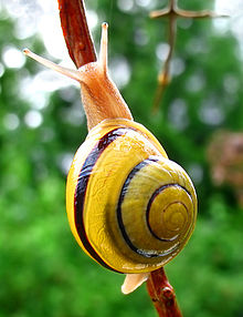 http://upload.wikimedia.org/wikipedia/commons/thumb/a/a1/Snail-WA_edit02.jpg/220px-Snail-WA_edit02.jpg