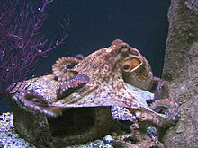 http://upload.wikimedia.org/wikipedia/commons/thumb/4/49/Polbo_pulpo_galicia.jpg/220px-Polbo_pulpo_galicia.jpg