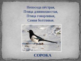 СОРОКА Непоседа пёстрая, Птица длиннохвостая, Птица говорливая, Самая болтлив