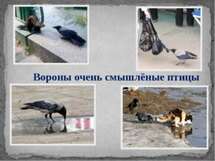 Вороны очень смышлёные птицы