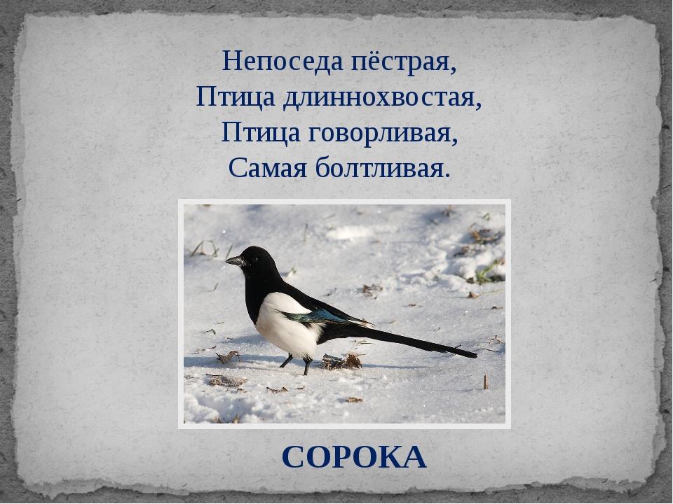 СОРОКА Непоседа пёстрая, Птица длиннохвостая, Птица говорливая, Самая болтлив...