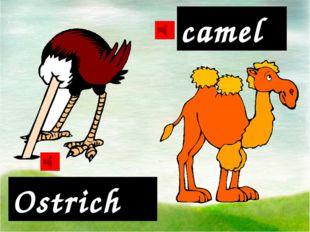 Ostrich camel