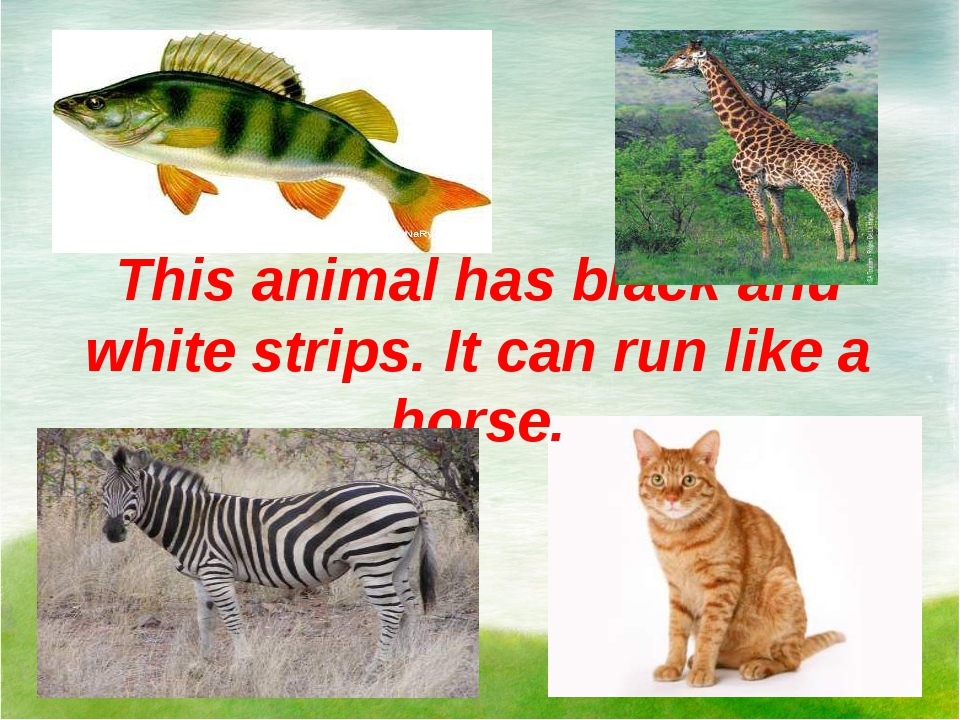 This animal has black and white strips. It can run like a horse.