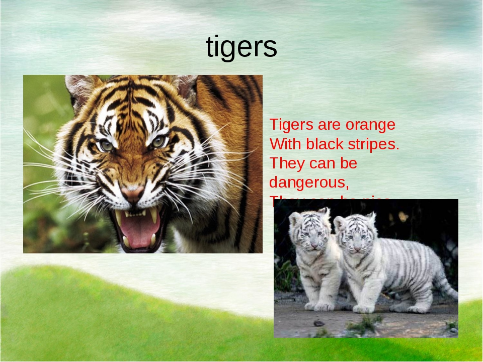 tigers Tigers are orange With black stripes. They сan be dangerous, They can...