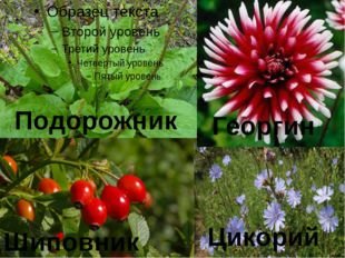 Цикорий Шиповник Георгин Подорожник