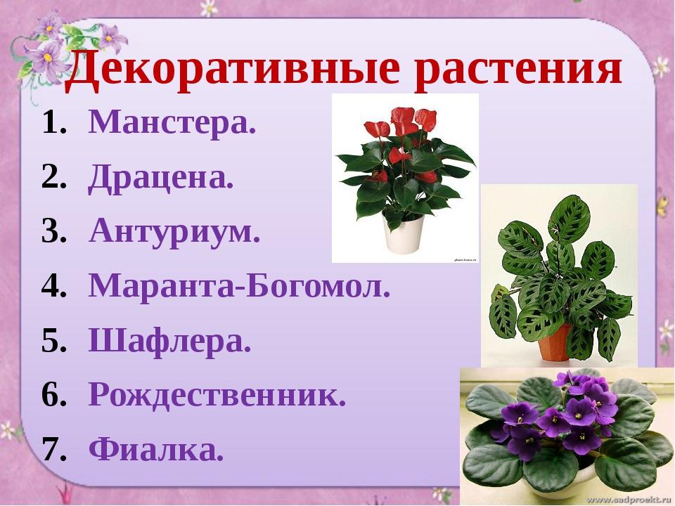 Декоративные растения Манстера. Драцена. Антуриум. Маранта-Богомол. Шафлера....