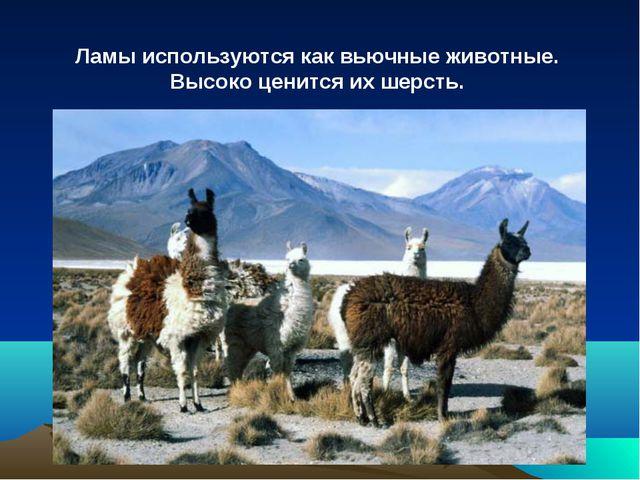 Ламы используются как вьючные животные. Высоко ценится их шерсть.