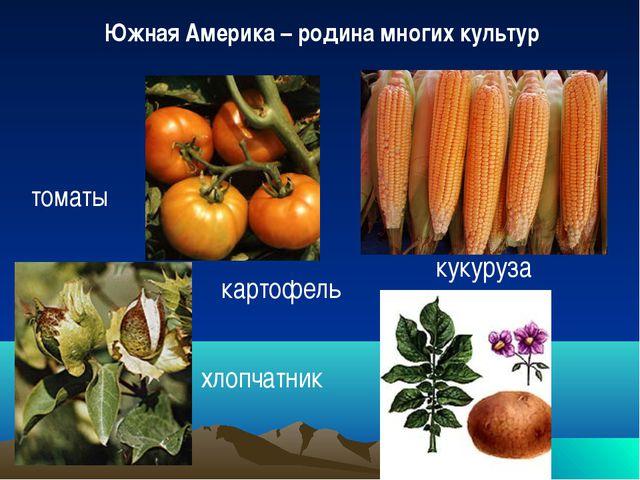 Южная Америка – родина многих культур томаты хлопчатник картофель кукуруза