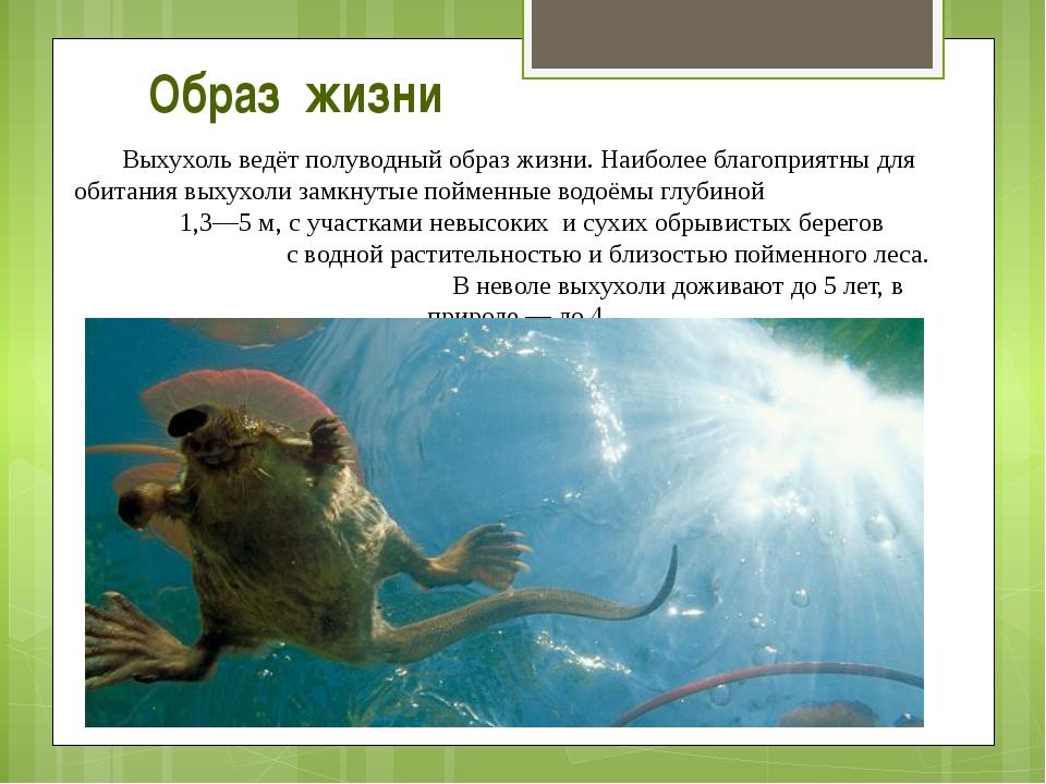 Выхухоль ведёт полуводный образ жизни. Наиболее благоприятны для обитания вых...