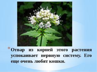 Отвар из корней этого растения успокаивает нервную систему. Его еще очень люб