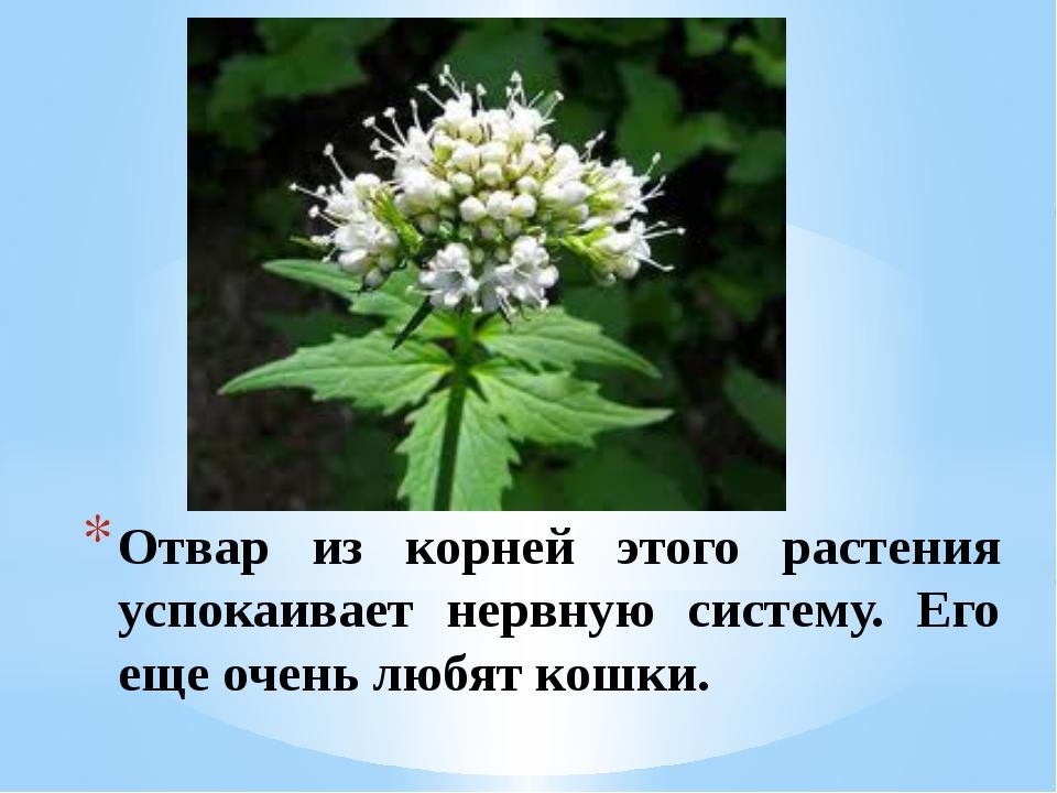 Отвар из корней этого растения успокаивает нервную систему. Его еще очень люб...