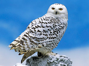 http://mirfaunas.ru/images/stories/snowy-owl1.jpg