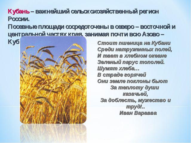 Стоит пшеница на Кубани Среди натруженных полей, И тает в хлебном океане Зеле...