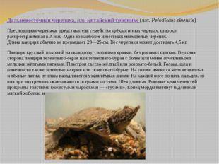 Дальневосточная черепаха, иликитайский трионикс (лат.Pelodiscus sinensis)
