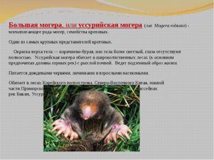 Большая могера, илиуссурийская могера(лат.Mogera robusta)- млекопитающее