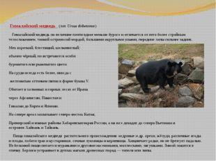 Гималайский медведь (лат.Ursus thibetanus) Гималайский медведь по величине