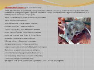 Крысовидный хомячок (лат.Tscherskia triton)- хомяк, единственный представ