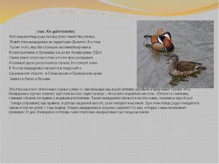 Мандари́нка (лат.Aix galericulata) Небольшая птица родалесных утоксемей