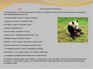 Больша́я па́нда, илибамбу́ковый медве́дь(лат.Ailuropoda melanoleuca) Мле