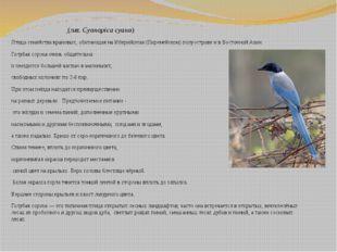 Голуба́я соро́ка (лат.Cyanopica cyana) Птицасемействаврановых, обитающая