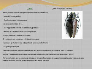Рели́ктовый дровосе́к, илирели́ктовый уса́ч, (лат.Callipogon relictus) – в