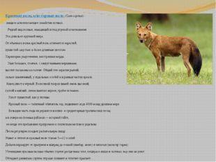 Красный волк, илигорный волк (Cuon alpinus)- хищное млекопитающее семейств