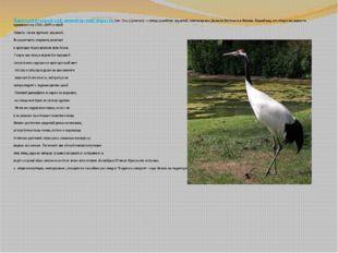 Японский (уссурийский, маньчжурский) журавль (лат.Grus japonensis)— птица