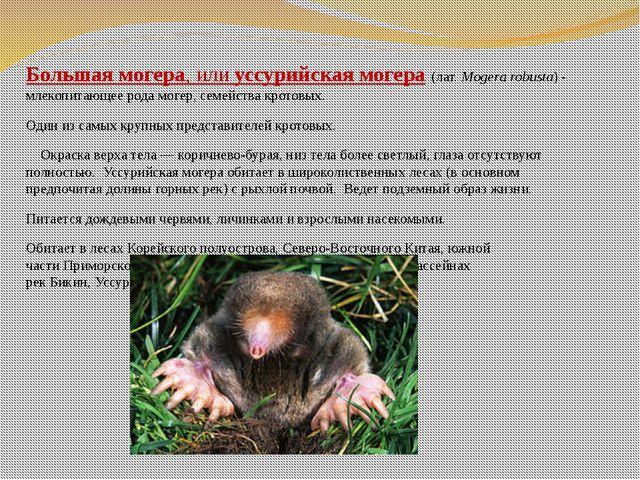 Большая могера, илиуссурийская могера(лат.Mogera robusta)- млекопитающее...