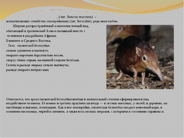 Гига́нтская белозу́бка, (лат.Suncus murinus) - млекопитающеесемействазем...