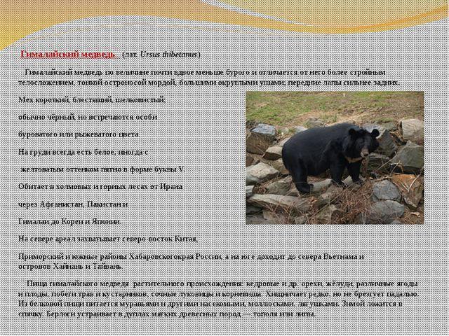 Гималайский медведь (лат.Ursus thibetanus) Гималайский медведь по величине...