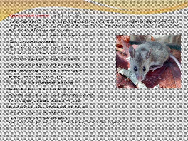 Крысовидный хомячок (лат.Tscherskia triton)- хомяк, единственный представ...