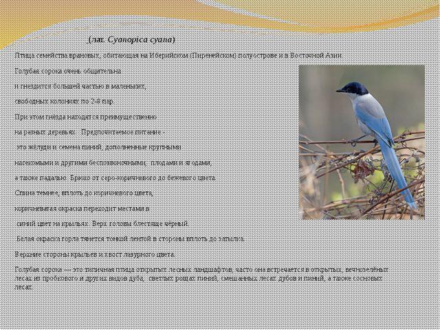 Голуба́я соро́ка (лат.Cyanopica cyana) Птицасемействаврановых, обитающая...