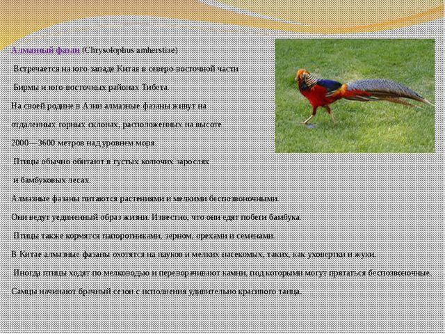 Алмазный фазан (Chrysolophus amherstiae) Встречается на юго-западеКитая в с...