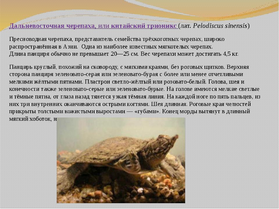 Дальневосточная черепаха, иликитайский трионикс (лат.Pelodiscus sinensis)...