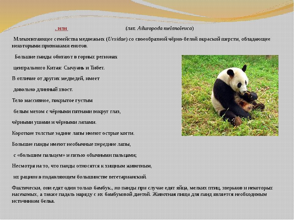 Больша́я па́нда, илибамбу́ковый медве́дь(лат.Ailuropoda melanoleuca) Мле...