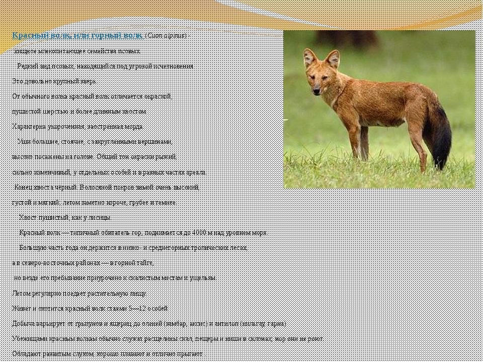 Красный волк, илигорный волк (Cuon alpinus)- хищное млекопитающее семейств...