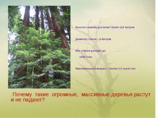 Почему такие огромные, массивные деревья растут и не падают? Высота секвойи
