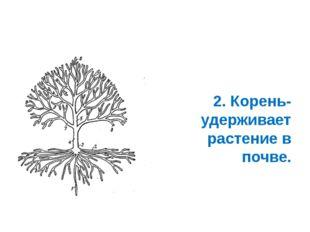2. Корень- удерживает растение в почве.