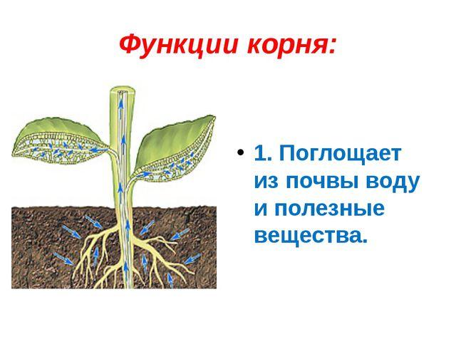 Функции корня: 1. Поглощает из почвы воду и полезные вещества.