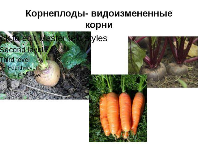 Корнеплоды- видоизмененные корни