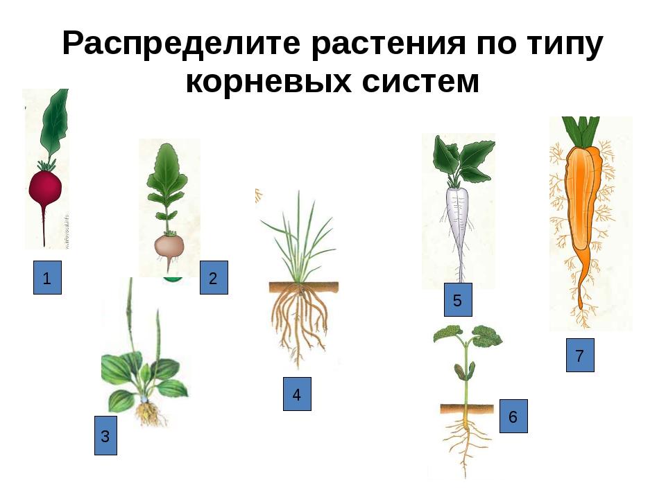 Распределите растения по типу корневых систем 1 2 3 4 6 5 7