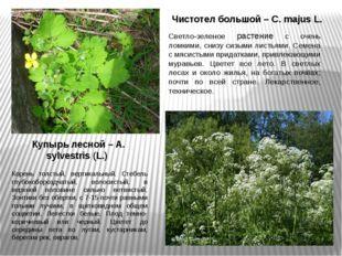 Чистотел большой – C. majus L. Светло-зеленое растение с очень ломкими, снизу