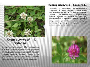 Клевер ползучий – T. repens L. Растение с ползучими укореняющимися стеблями и
