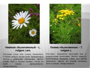 Нивяник обыкновенный – L. vulgare Lam. Растение голое или слегка опушенное. С